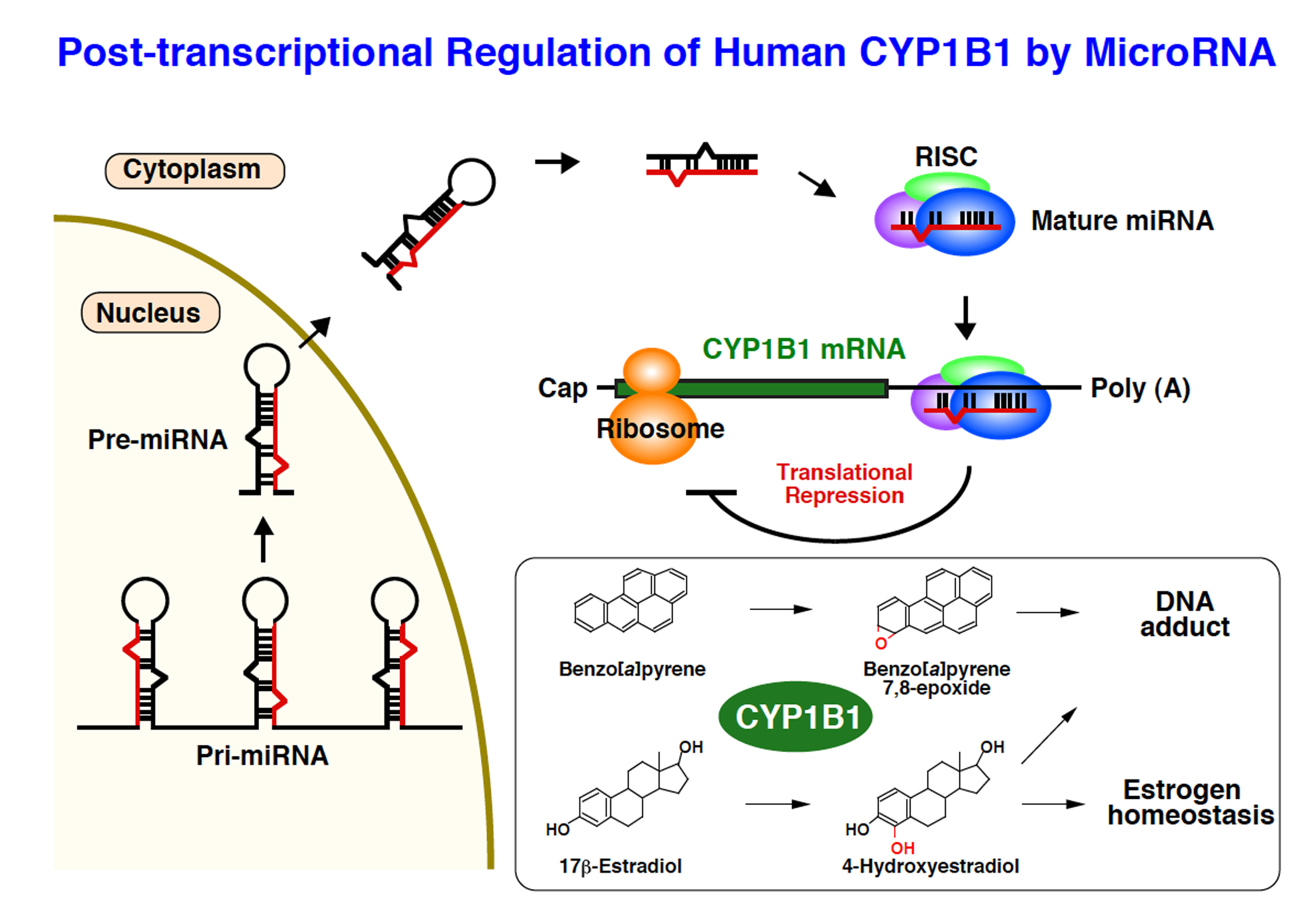 Regulation of drug metabolizing enzymes