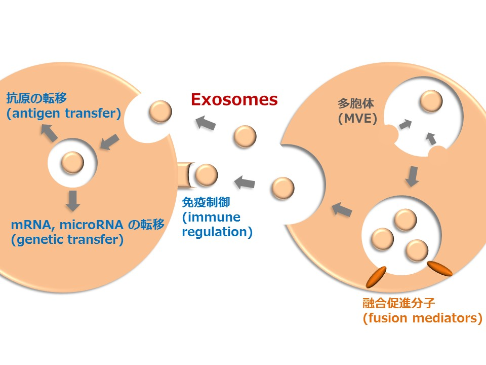 Intercellular signal transduction by exosomes and its disorders